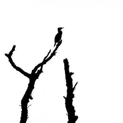 Cormorant Silhouette