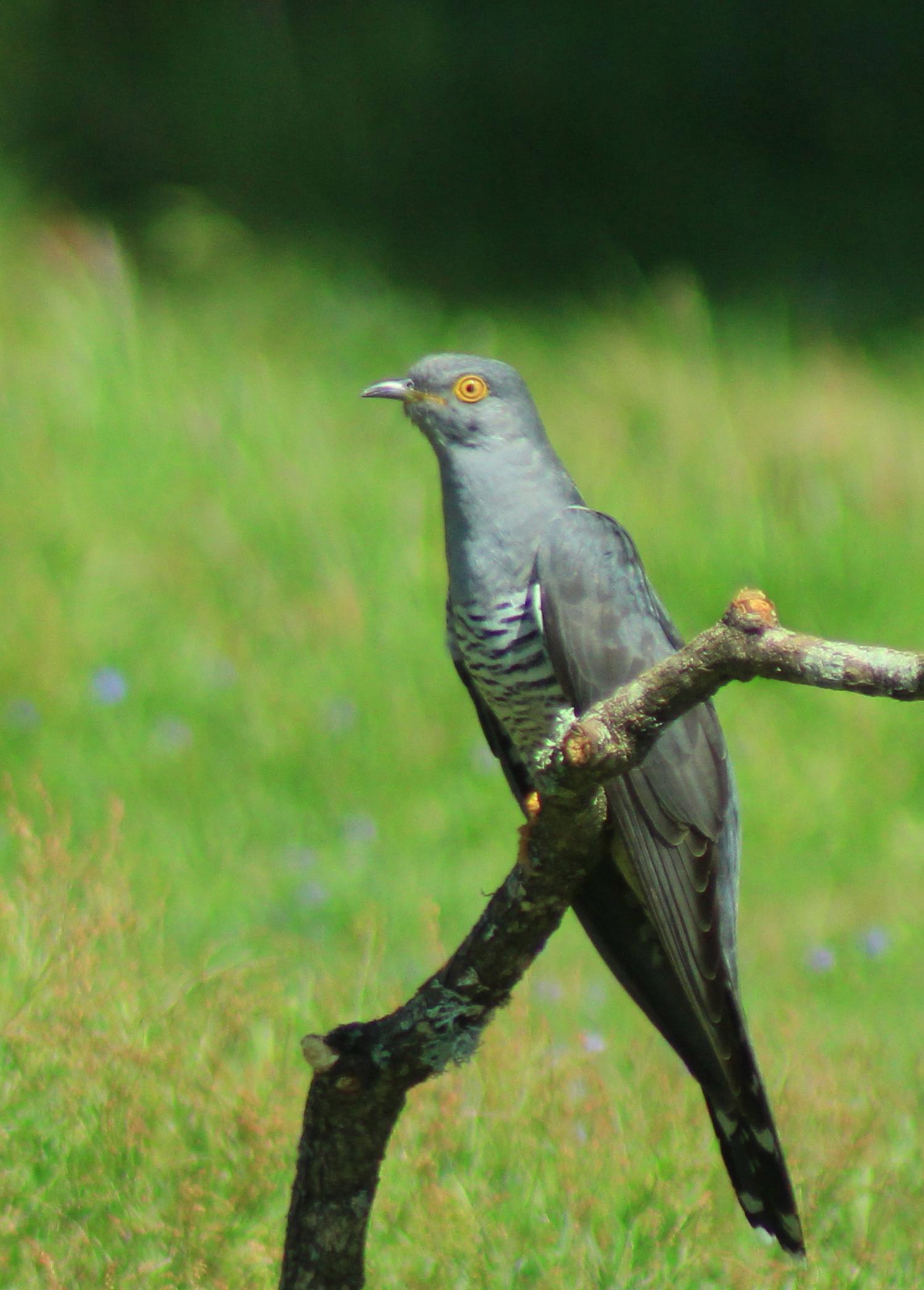Cuckoo crop 4