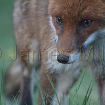 Fox 2
