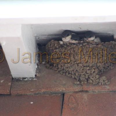 House Martin Nest