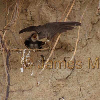 Sand Martin Nest
