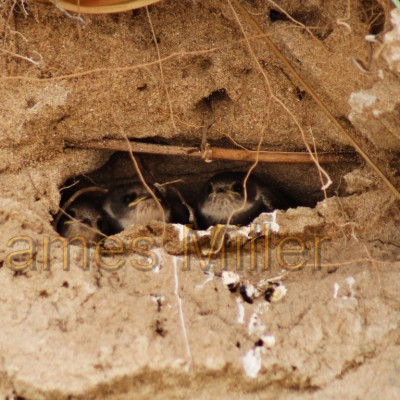 Sand Martin Chicks