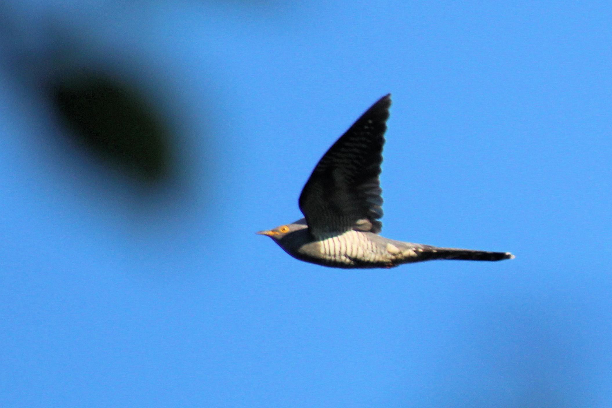 cuckoo crop 3