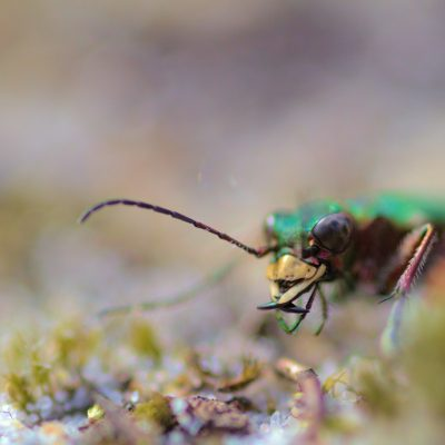 Tiger beetle (Large)